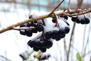 Chokeberry under the snow.