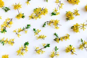 Pattern made of yellow forsythia