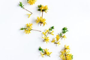 Yellow forsythia flowers