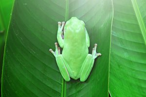 tree frogs, dumpy frogs, animals,