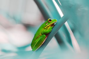 tree frogs, dumpy frogs, animals