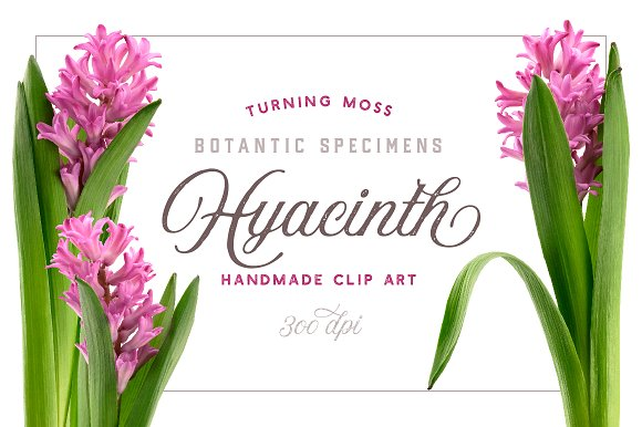 Hyacinth Flower ClipArt Realistic