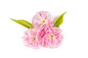 sakura cherry tree blossom