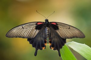 Giant tropical Butterfly