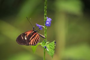 Butterfly on violet flower.