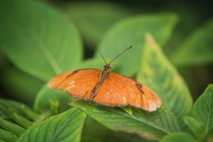 Butterfly (Dryas Iulia)
