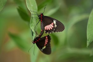 Couple of Butterflies (Heliconus)