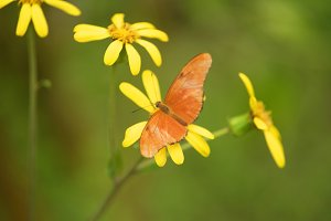 Butterfly (Dryas Iulia)