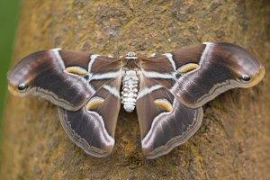 Giant Butterfly (Samia Ricini).