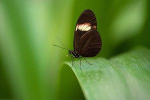 Butterfly (Heliconus Erato)