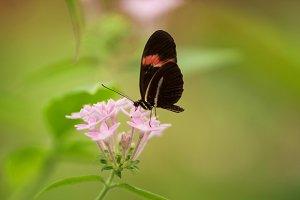 Butterfly (Heliconus Melpomene)