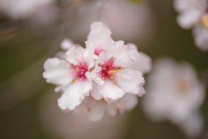 Close up almond tree flower.