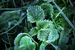 Nettles in the frost