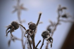 dogrose in the frost