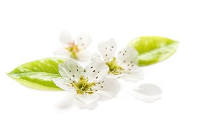 Blossoms pear tree Spring flower