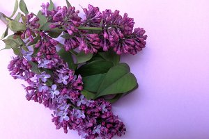Lilacs flowers bunch on background