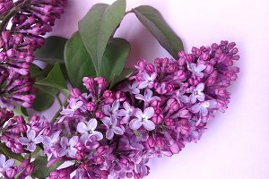 Lilacs flowers on soft background