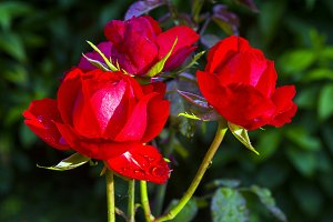 Three flowers of a bright red rose