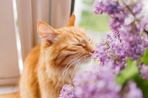 Cute cat smelling lilac flowers