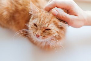 Man stroking cute ginger cat