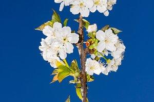 cherry blossom(vertical)
