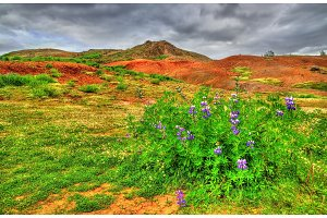 Lupin flower in Haukadalur Valley - Iceland