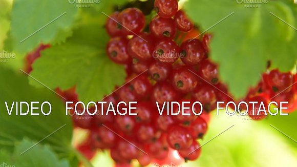 Bunch Of Ripe Red Currant