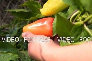 Raising vagetables in the garden. Gathering sweet pepper