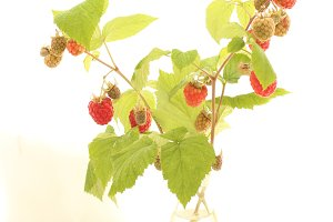 Vase of Raspberry Branch
