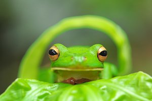 frog on the leaf, tree frog,