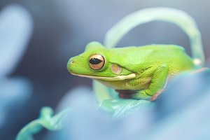 frog on the leaf, tree frog