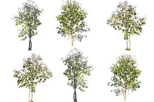 teak wood trees isolated on white