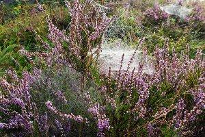 Autumn spider web and heather flower