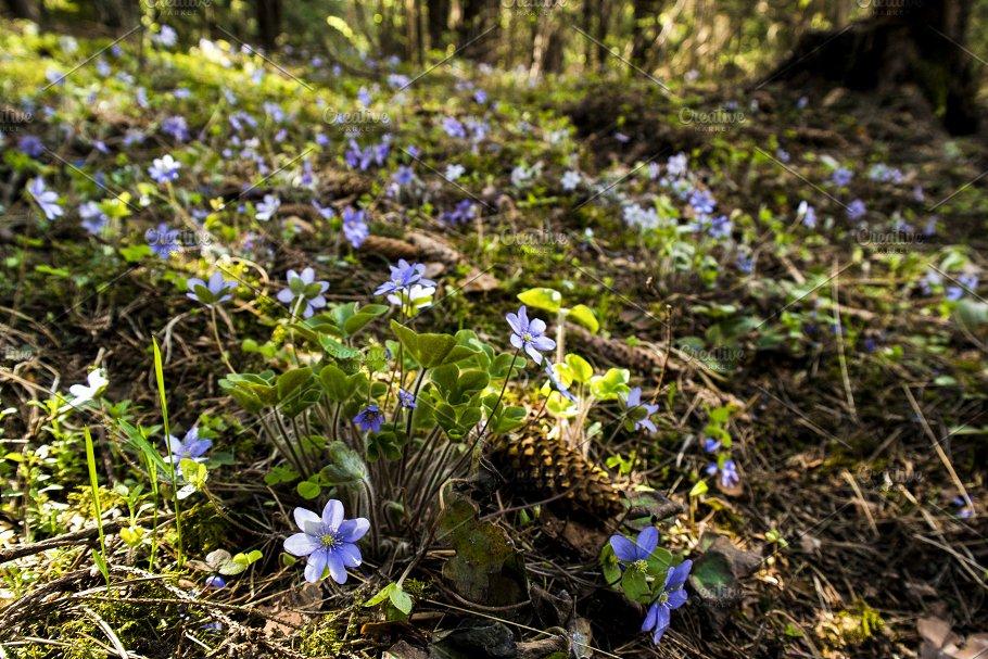 First Spring Flower Anemone Hepatica Nature Photos Creative Market