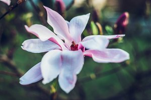 A view of a magnolia flower.