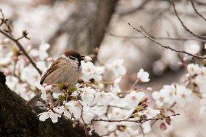 Bird on cherry blossom tree