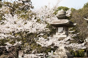 Cherry Blossom Temple
