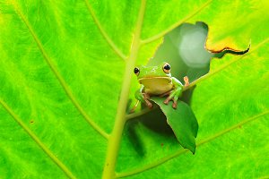 tree frog on the leaves, frog