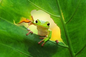tree frog on the leaves, frog, tree