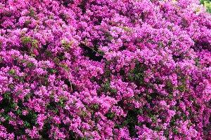 Magenta flowers background