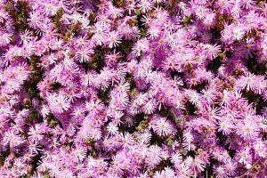 Autumn magenta asters flowerbed