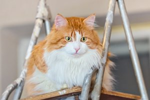 Pretty red cat on ladder