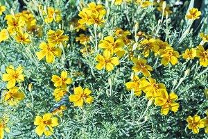Yellow flowers in sunny garden