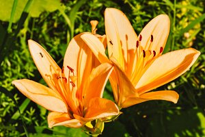 Great orange garden lilies