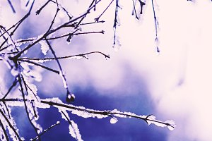 Ssnow-covered branches violet drops