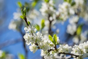 Plum blossom in the spring