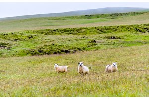 Sheep on pasture in Iceland