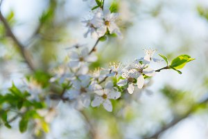 Blossom flowers branch apricot tree