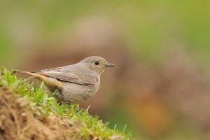 Female redstart, Phoenicurus phoenic