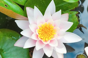 White flower water lilly